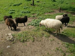 (Q) Ouessantská jehňata, mini ovečky.
