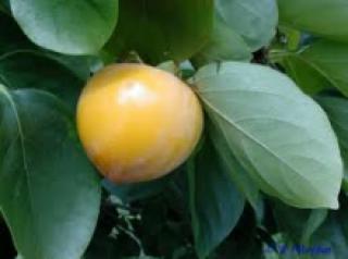 Diospyros Kaki - semena