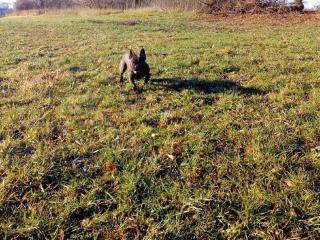 Francouzský buldoček štěně s PP