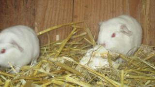 Bílé morčátko