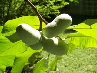 Asimina triloba - naklíčená semena