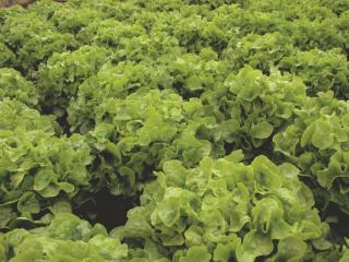 Salát Dubagold - semena