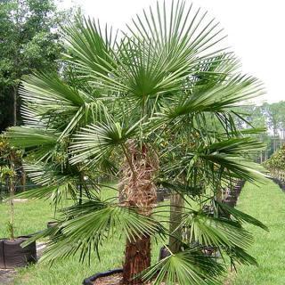 Trachycarpus Naini Tal - naklíčená semena