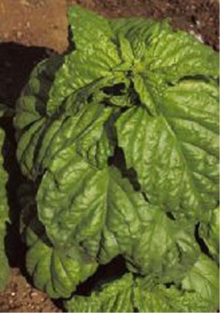 Bazalka foglia di lattuga S. Valentino - semena