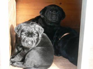 Labrador štěňata po špičkových rodičích
