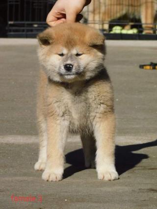 Japonská štěňata akita