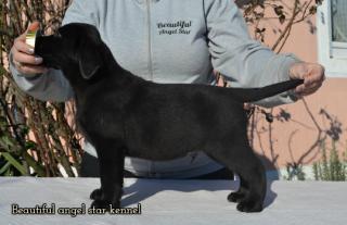 Šteniatka retrievera Labradora
