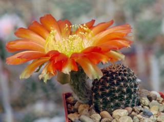 Kaktus Lobivia amblayensis WR 19 - semena