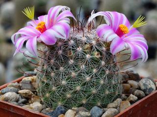 Kaktus Mammilaria microcarpa - semena