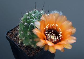 Kaktus Lobivia jajoiana var. Glauca - semena