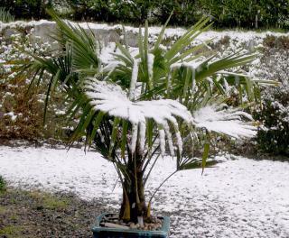 Trachycarpus fortnunei - naklíčená semena