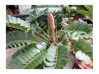 Cycas Zamia Furfuracea - naklíčená semena