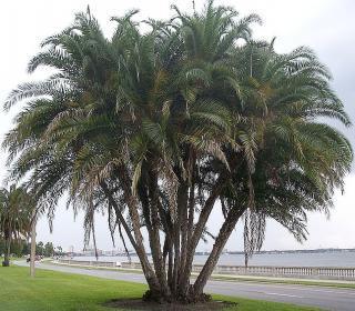 Phoenix Reclinata - naklíčená semena