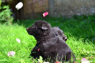 Černý německý ovčák štěňata