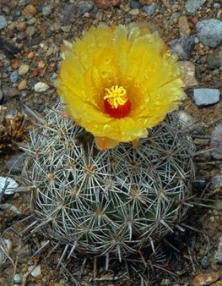 Kaktus Coryphantha echinus - semena