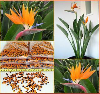 Strelitzia Reginae - naklíčená semena
