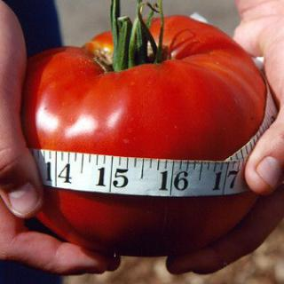 Rajče Delicious - semena