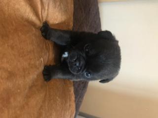 5 nádherných štěňat Pug / Puggle
