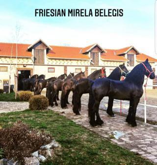 Fríští koně na prodej