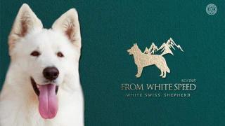 Štěňata bílého ovčáka na prodej