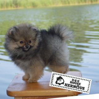 Pomeranian Spitz štěňata