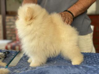 Pomeranian štěně