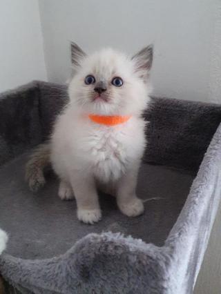 Koťata Ragdoll s modrou pečetí
