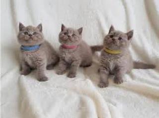 Britská krátkosrstá koťata s rodokmeny gccf