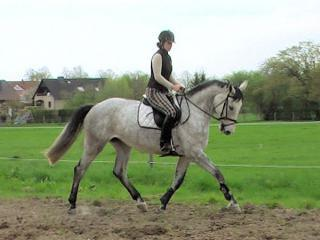 K dispozici je nádherný hannoverský kobylový kůň