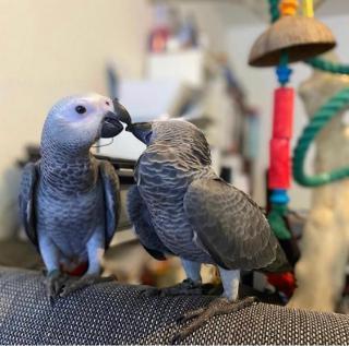 Charlie africký papoušek šedý velmi milující a přátelský krotký