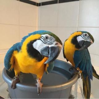Prodám svůj mladý a ručně chovaný pár modrých a zlatých papoušků.