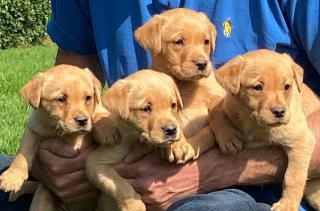 Tady máme 5 krásných štěňátek labradorského retrívra.