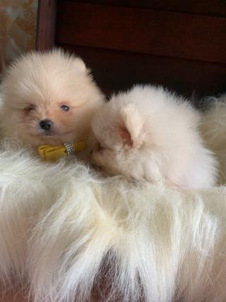 Dobrý den, máme zde 2 nádherná štěňata pomeranianů,