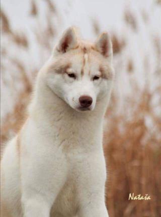 Sibiřský husky štěňata