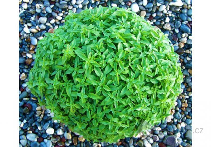 Bazalka Greco a Palla - semena