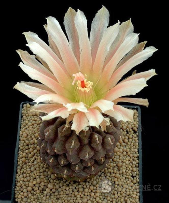Kaktus Thelocephala duripulpa - semena