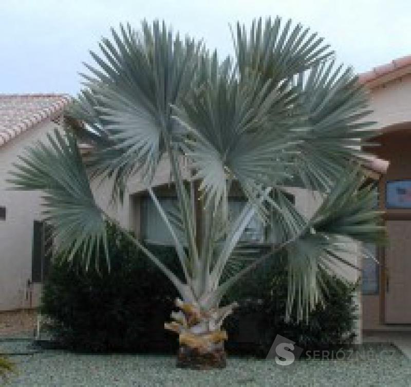 Bismarckia nobilis - sazenice