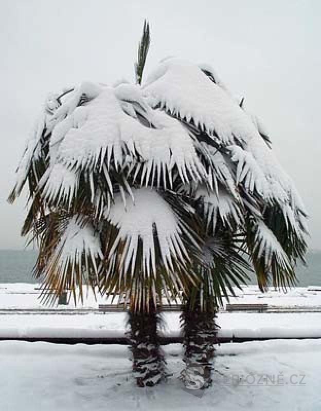 Trachycarpus fortunei - sazenice