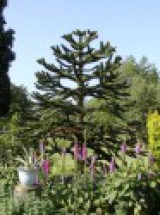 Araucaria Araucana - sazenice