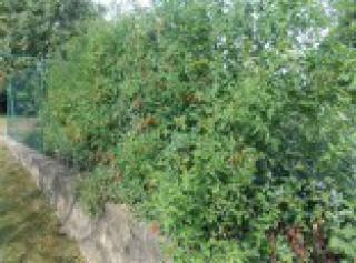 Rajče Divoké - semena