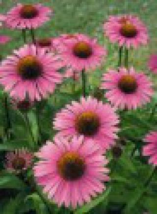 Echinacea Purpurea - semena