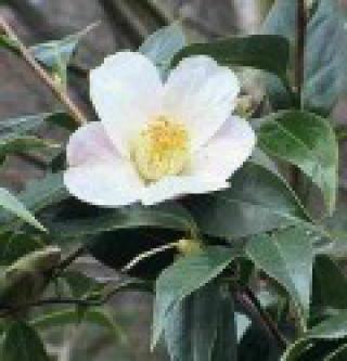 Čajovník čínský - naklíčená semena