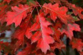 Dub červený - sazenice