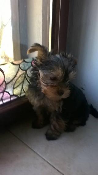 Prodám štěně pejska Jorkšírského teriéra