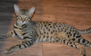 Savanová kočka - savannah F6SBT a F7SBT